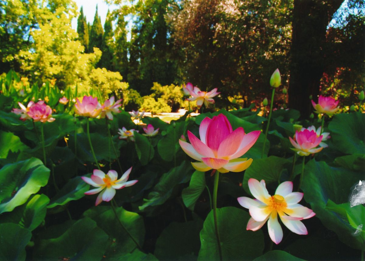 4 - Vedanta Society of Sacramento - Garden of Saints - Sacred Lotus Flower