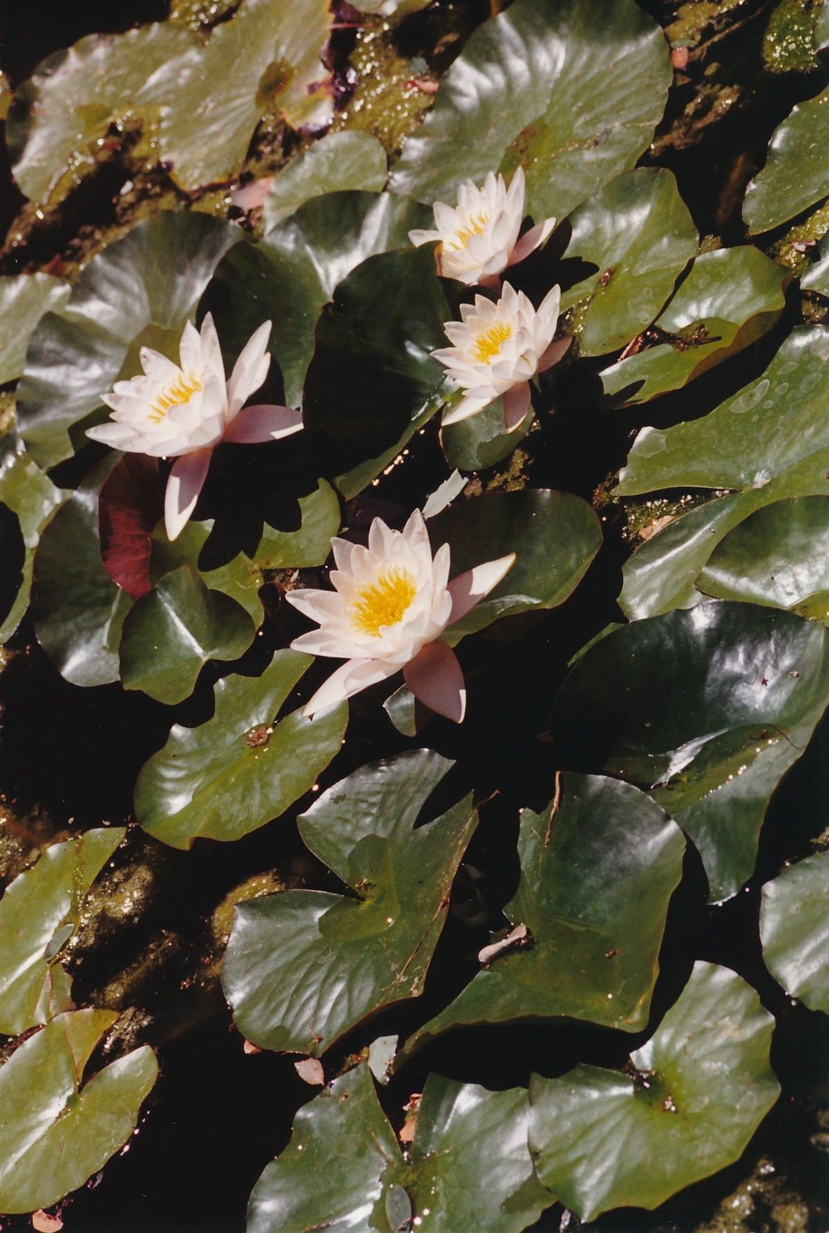 5 - Vedanta Society of Sacramento - Garden of Saints - Lotus Pond - Image 2